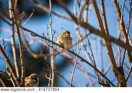 Young Single Sparrow Sitting On The Branch Without Leaves