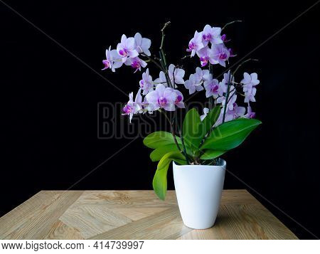 Pink Spotted Orchid,green Leaves In White Pot On Wooden Table,black Background.beautiful Trendy Flow