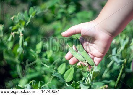 Child's Hand Holding A Pod Of Green Peas In The Garden.
