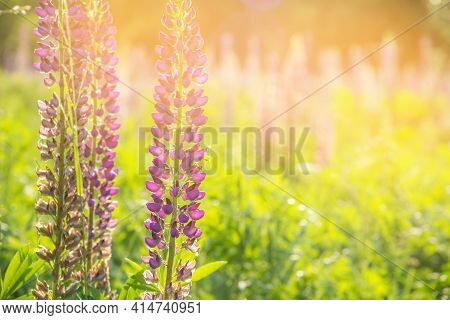 Blooming Lupine Flowers. A Field Of Lupines. Colorful Summer Flower Background.