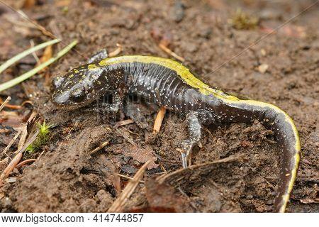 Closeup On An Eastern Longtoed Salamander, Ambystoma Macrodactylum Columbianum From Columbia River G