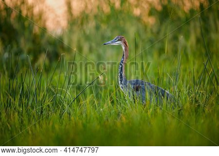 The Goliath Heron (ardea Goliath) Is The Largest Heron In The World, It Lives Mainly In Sub-saharan