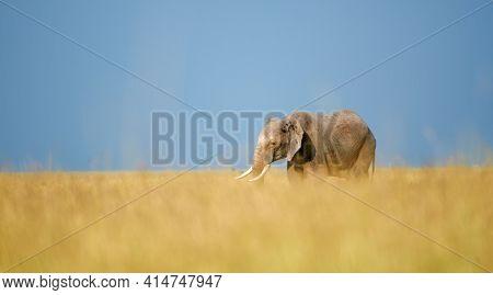 African Elephant (loxodonta Africana) Walks In The Savannah Of The Masai Mara. In The Background Blu