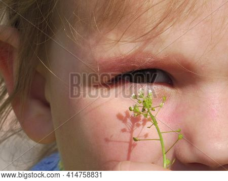 Four Years Old Cute Little Girl Holding  Fragile White Wildflower To Her Eyes. Cognitive Child Perce