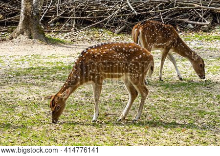 Chital Or Cheetal Deer, Axis Axis, Also Known As Spotted Deer Or Axis Deer In A German National Park