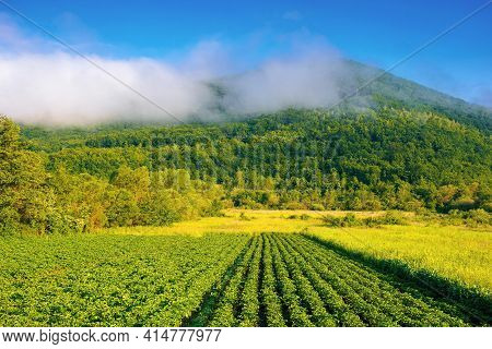 Rural Landscape With Potato Field Grow In A Row. Lush Green Scenery In Morning Light. Organic Crop V