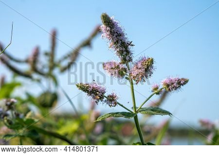 Blooming Mint Lamiaceae. Thickets Of Wild Mint. Mint Bushes On The Bank Of A Body Of Water.