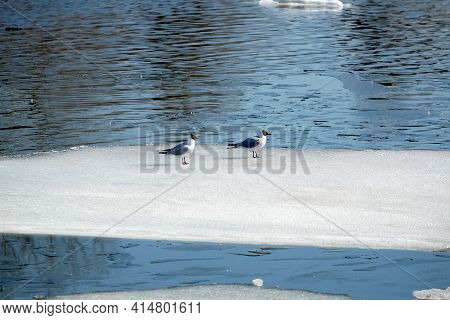 Two Wild Seagulls Sitting On An Ice Floe Floating In Cold Blue Open Water In Bright Sunny Spring Day