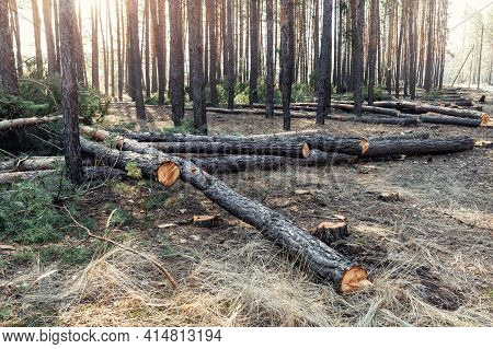 Felling Big Coniferous Pine Tree Logs At Forest Landscape. Industrial Commercial Deforestation. Natu