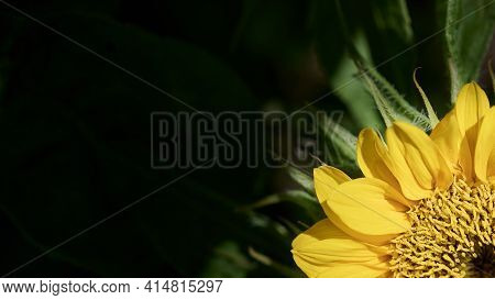 Close Up Of Beautiful Sunflower Flower On The Dark Background. Sunflower Natural Background, Sunflow
