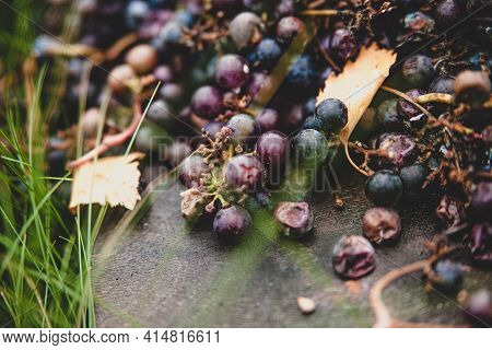 Round Berries Of Rotting Isobella Grapes On Grass Background