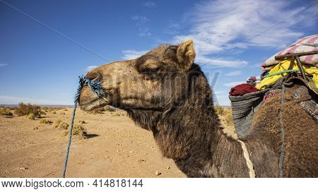 A Camel Or Dromedary In The Moroccan Sahara Desert On A Camel Trekking Expedition Into The Desert.