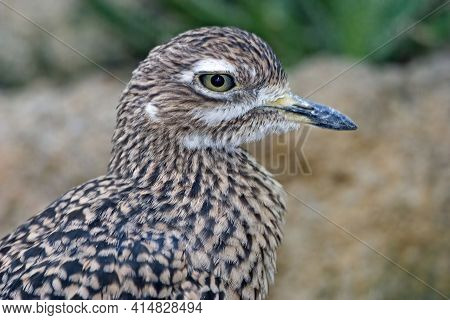 A Spotted Thick-knee, Burhinus Capensis, Close Up Profile