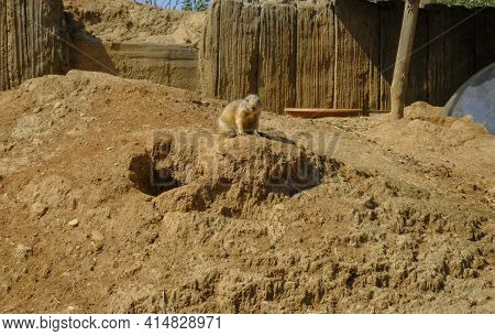 Groundhog Near The Hole Across Sand Surface Close-up. Groundhog In The Wild Nature