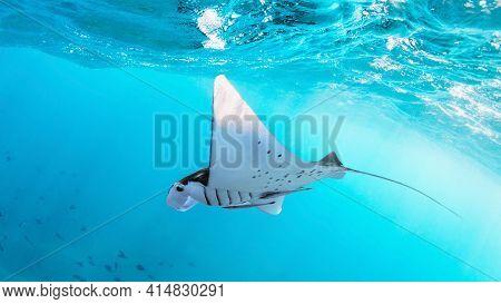 Underwater View Of Hovering Giant Oceanic Manta Ray ( Manta Birostris ). Watching Undersea World Dur