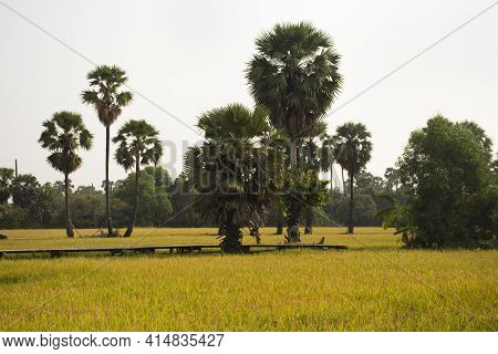 View Landscape Paddy And Toddy Palms Or Sugar Palm Tree With Wooden Bridge In Rice Field For Thai Pe