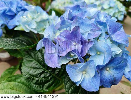Blue Hydrangea (hydrangea Macrophylla) Or Hortensia Flower With Dew