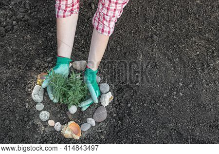 Two Female Hands Plant Lavender In Prepared Soil, Decorated With A Circle Of Stones And Seashells. T