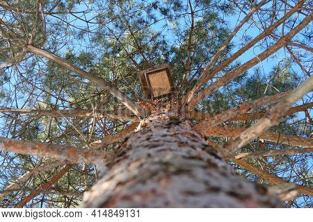 Spring, Nature. A Large Conifer, A View From Below. The Texture Of The Pine Trunk Bark And The Birdh