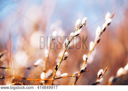 Beautiful Fluffy Buds Of Pussy Willow. Spring Background.