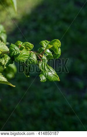 Cherry Branch Affected By Fungus, Curling Leaves Close-up
