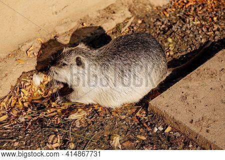 Close Up Portrait Of Coypu, River Rat, Nutria Or Myocastor Coypus, White Fur, On The Banks Of The Ri