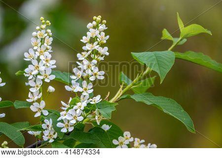 White Flowers Blooming Bird Cherry. Bird Cherry Tree In Blossom. Close-up Of A Flowering Prunus Padu