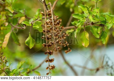 Holy Basil Or Ocimum Tenuiflorum, Also Called Tulsi Or Tulasi, Flowering And Seed Plant Of The Mint
