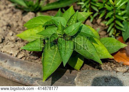 Japanese Sweet Potato Plant On The Rooftop. Fresh Purple, Grey And Green Organic Orange Sweet Potato