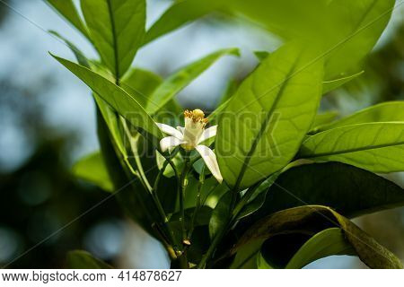 Lemon Or Citrus Limon Is A Evergreen Shrubs, Fruit Trees Of The Family Rutaceae Genus Citrus Which M