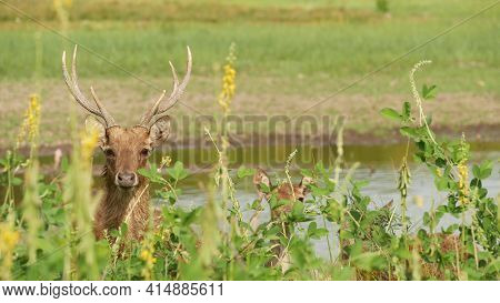 Young Strong Graceful Deer, Green Pasture With Green Juicy Grass. Spring Meadow With Cute Animals. L