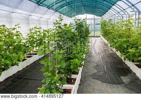 Raspberry Cultivation, Raspberry Mother Plant In A Greenhouse. Raspberry Plants Growing In A Greenho