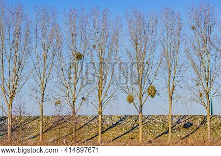 Set Of Trees In Line With Sparse Foliage In Front Of A Dike With Green Grass With Remnants Of Snow W