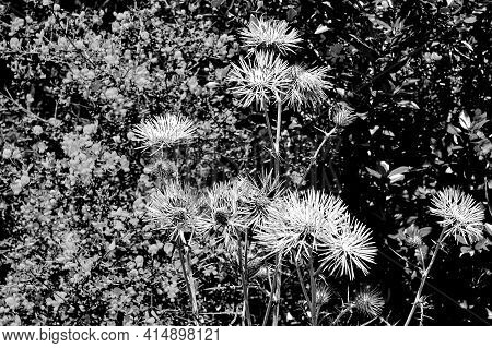Blooming Thistle In The Spring In Southern France, Monochrome