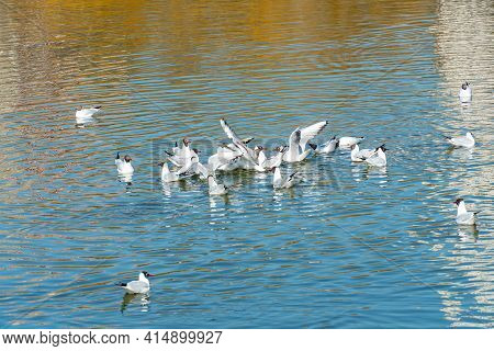 Flock Ducks And A Drakes Swim Side By Side In A Clean Reservoir, Birds Swim On The Water