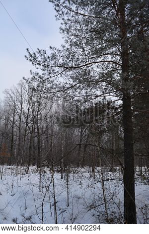 Winter Forest With Pines And Deciduous Trees In Overcast Day