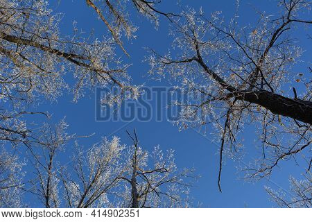 Forest In Winter. View From Below On Oak Trees Tops On The Background Of Bright Blue Sky.
