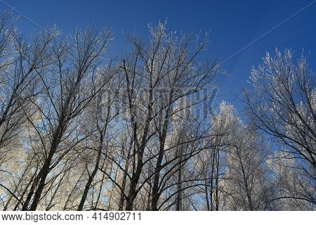 Cold Winter Day In Forest. Trees Covered With Hoarfrost On The Background Of Bright Blue Sky.