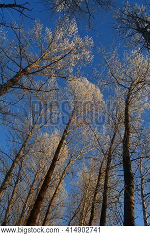 Winter Tale. Tall Poplar Trees Covered By Hoarfrost Against Blue Sky On Sunset