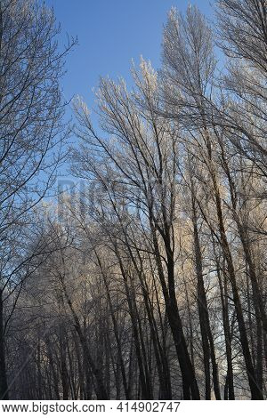 Beautiful Park In Winter With Trees In Hoarfrost On The Background Of Blue Sky. Christmas Scene.