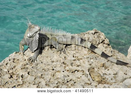 Green Iguana By The Sea
