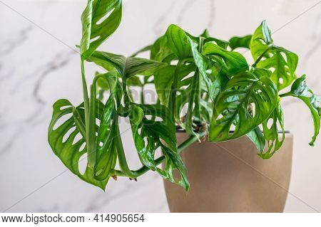Monstera Deliciosa Minimal Monkey Mask Closeup. Monstera Monkey Mask In Flower Pot On The Marble Wal