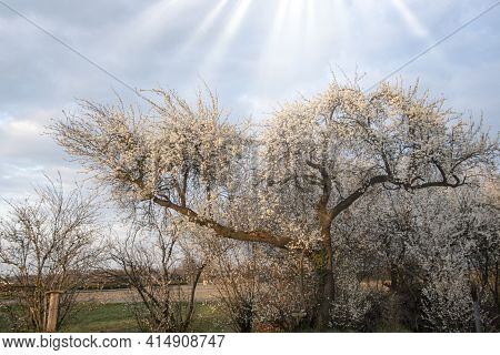 Early Spring In The Netherlands. Blooming Wild Pear Trees. Warm Sunny March Day. Grove Of Pear Trees