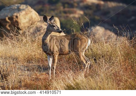 Listening Mule Deer at Rocky Peak Park in the Santa Susana Mountains near Los Angeles and Simi Valley, California.