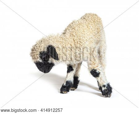Valais Black nose lamb looking down, isolated
