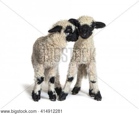Two lambs cuddling, isolated on white
