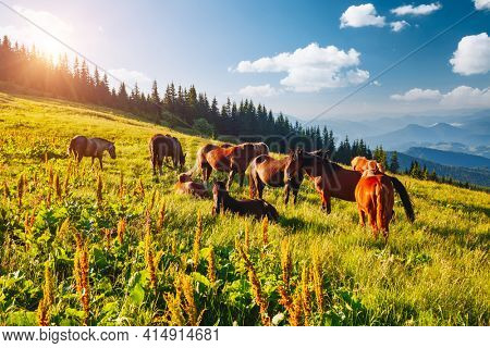 Splendid summer view of pasture with Arabian horse on a sunny day. Location place Carpathian mountain, Ukraine, Europe. Scenic image of farmland. Picture of wild area. Discover the beauty of earth.
