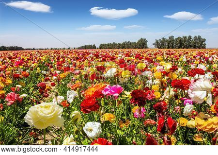 Israel. Windy cloudy day. The multicolored garden buttercups  in a kibbutz field with a magnificent carpet. Walk in the world of flowers.