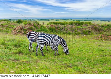 Magnificent trip to the African savannah. Kenya in the spring. Charming symmetrical zebras graze together. Ecological, active and phototourism concept