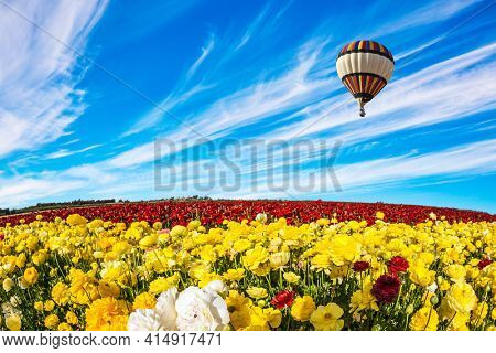 Huge multicolored hot air balloon flies over a field of flowers. Yellow garden buttercups in a kibbutz field. Israel. Wonderful trip for spring beauty. Light cirrus clouds fly in the blue sky